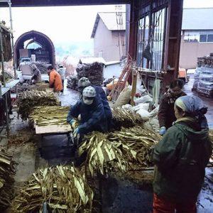Récolte du kozo pour le papier washi